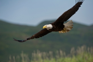american bald eagle in flight over alaska coastal mountains